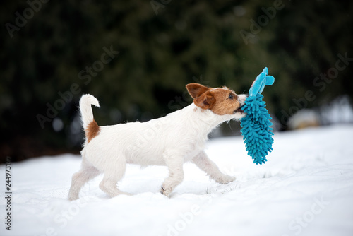 jack russell terrier puppy playing with a toy outdoors in