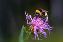 Bumblebee Collecting Nectar On...