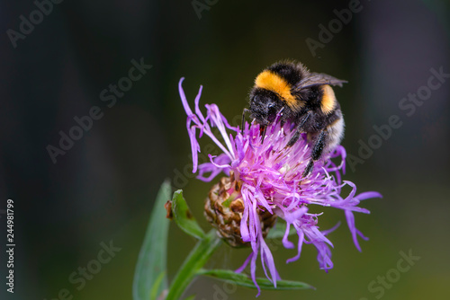Obraz na plátně Bumblebee collecting nectar on a violet flower of sow-thistle