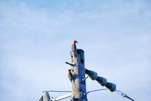 Red-bellied Woodpeckers On Tel...