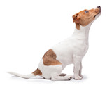 Fototapeta Dogs - small dog Jack Russell terrier isolated on the white background