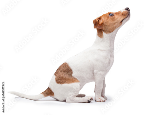 small dog Jack Russell terrier isolated on the white background