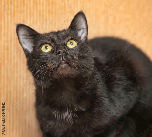In de dag Panter Black cat with yellow eyes on a light background