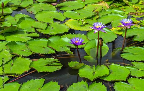 Deurstickers Waterlelies Water Lily flower background