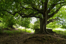 A Plane Tree Trunk And Branches With A Ditch And A Footpath Underneath. Near Abbotsbury, England, United Kingdom