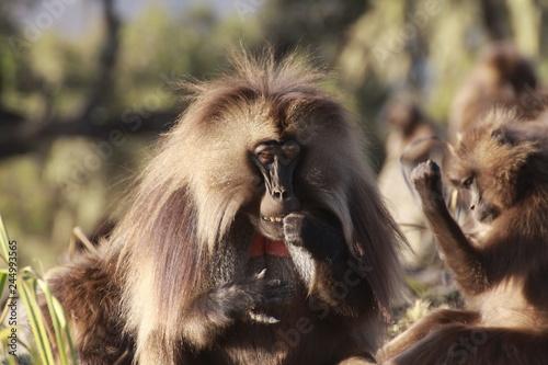 Fototapeta codzienne życie w stadzie małp z gatunku dżelada w etiopii obraz