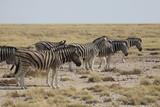 Fototapeta Sawanna - stado zebr wypasające się wśród traw sawanny