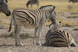 Fototapeta Sawanna - stojące i leżące zebry w naturalnych warunkach na safari