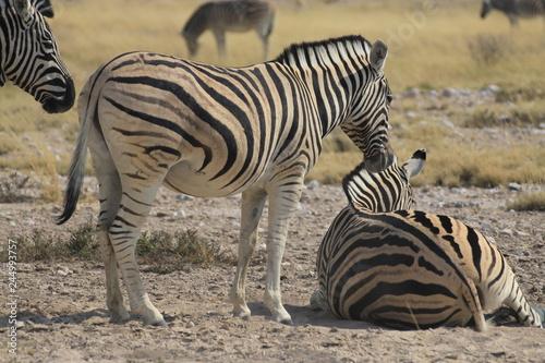 stojące i leżące zebry w naturalnych warunkach na safari