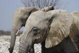 Fototapeta Sawanna - słonie w naturanym środowisku na sawannie z bliska
