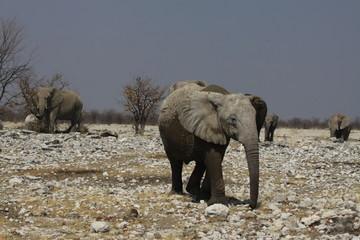 słonie w naturanym środowisku na sawannie z bliska