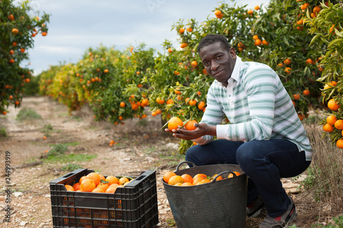 Afro male worker picking mandarins Wallpaper Mural