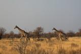 Fototapeta Sawanna - dwie żyrafy biegnące przez sawannę