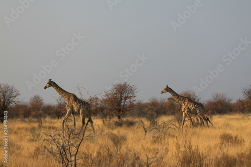 dwie żyrafy biegnące przez sawannę