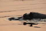 Fototapeta Sawanna - hipopotam wystawiający czubek głowy z wody o zachodzie słońca
