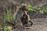 samica i młode małpy siedzące na trawie w naturalnych warunkach