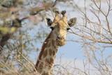 Fototapeta Sawanna - głowa żyrafy wystająca spomiędzy gałęzi akacji