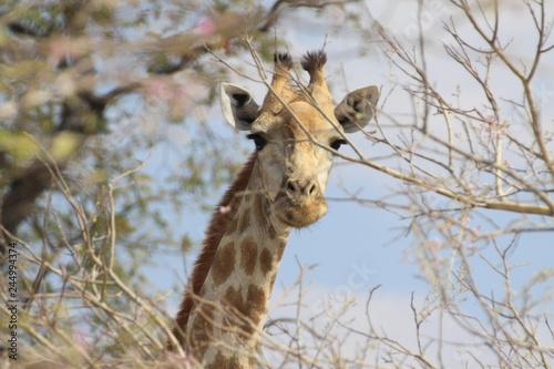 głowa żyrafy wystająca spomiędzy gałęzi akacji