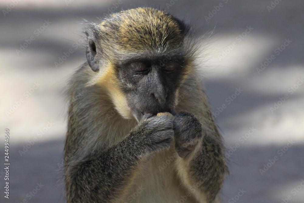 Fototapeta portret małpki jedzącej orzech