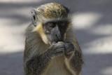 Fototapeta Sawanna - portret małpki jedzącej orzech