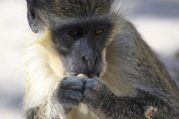 portret małpki jedzącej orzech
