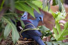 The Western Crowned Pigeon, Al...