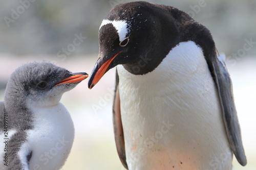 Fototapeta samica pingwina karmiąca młode obraz