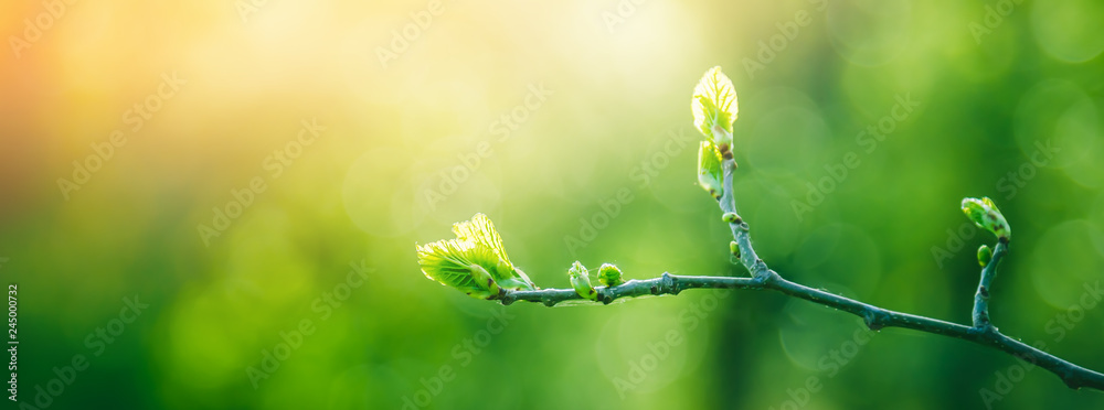 Fototapety, obrazy: Fresh young green leaves of twig tree growing in spring. Beautiful green leaf nature outdoor background with copy space