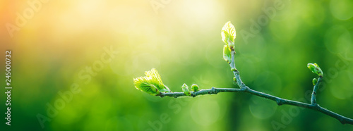 Fotobehang Bomen Fresh young green leaves of twig tree growing in spring. Beautiful green leaf nature outdoor background with copy space