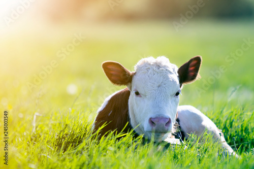 Canvas Print Close-up of white and brown calf looking in camera laying in green field lit by sun with fresh spring grass on green blurred background