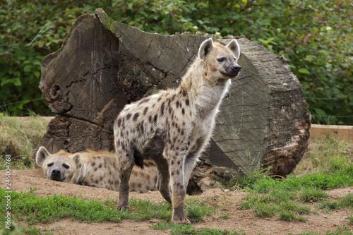 Foto auf Gartenposter Hyane Spotted hyena (Crocuta crocuta)