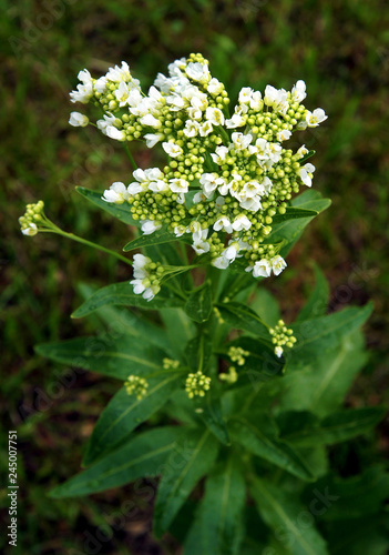Fotografiet Flowers of the horseradish