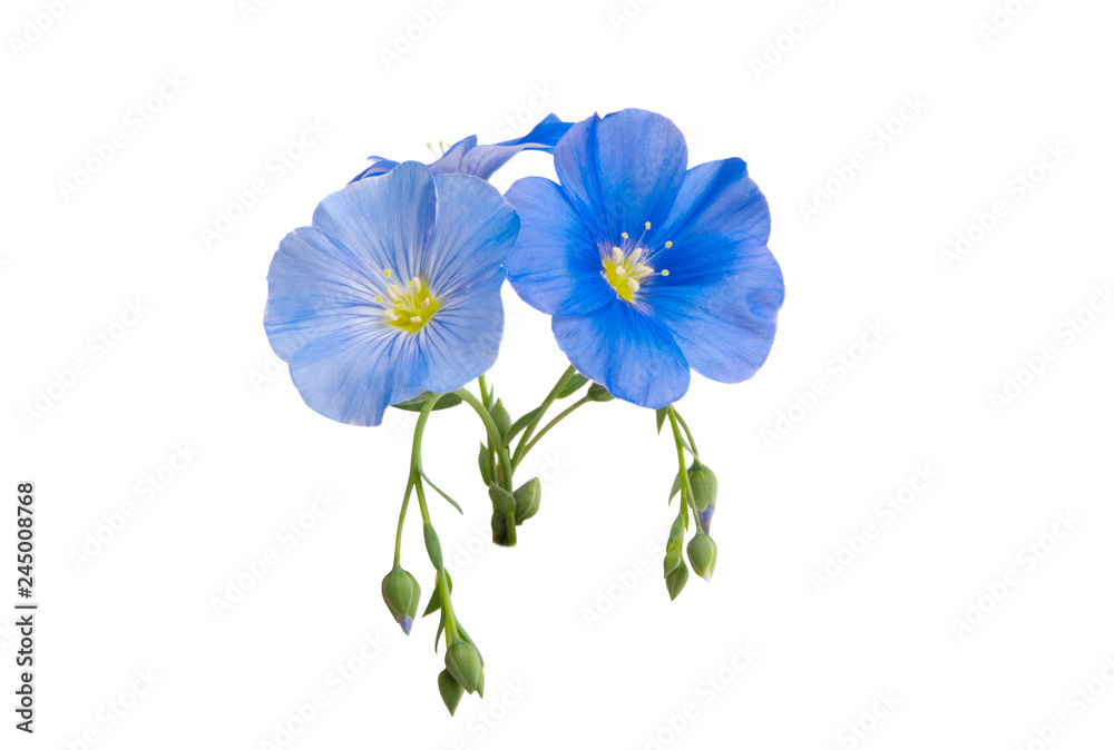 Fototapety, obrazy: flax flower isolated