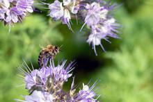 Bee Sitting On A Purple Flower. Summer Honey Harvest In The Meadow.