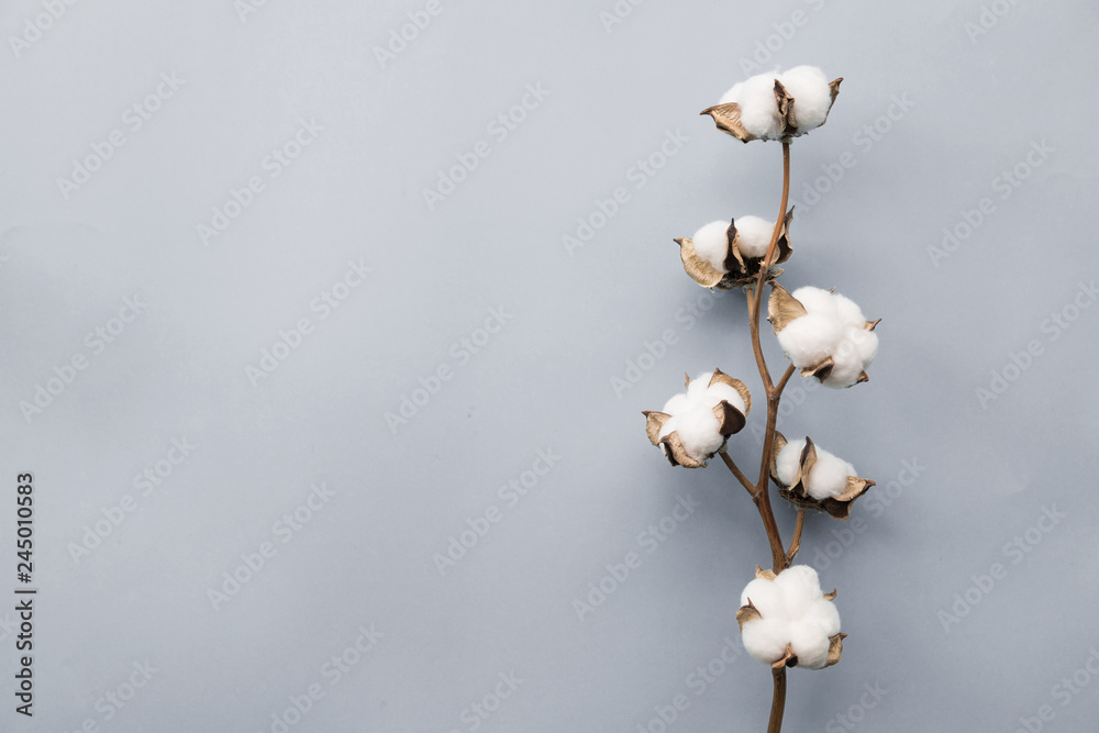 Fototapety, obrazy: Cotton flower on pastel pale gray paper background, overhead. Minimalism flat lay composition for bloggers, artists, social media, magazines. Copyspace, horizontal