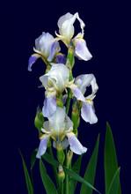 The Flower Of A Bearded Iris