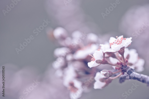 Vászonkép  Flowers of Nanking cherry, Prunus tomentosa, Korean, Manchu, downy, Shanghai, Ando, mountain, Chinese bush, or Chinese dwarf cherry on the branches