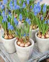 Potted Muscari Or Grape Hyacinth Plant In The Flowers Bar.
