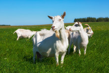 Herd Of Goats Grazing On Green...