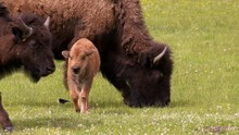 Yellowstone National Park - Amazing Shot Of An Adult Mother Bison Buffalo And Young Baby Calf In A Peaceful Springtime Green Meadow.
