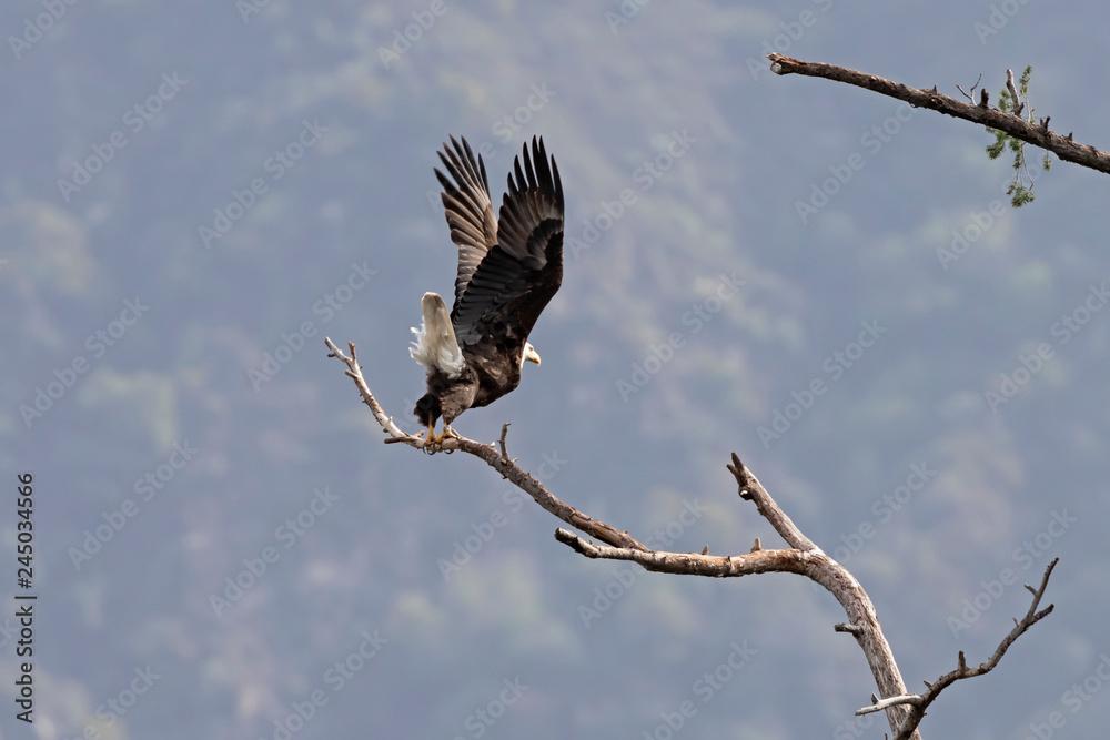 Bald eagle California wildlife
