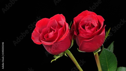 Two perfect red roses