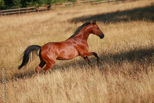 Obraz na plátně Horse gallops in portraits in the morning light and rages, in the pasture