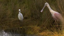 Beautiful Shot Of Snowy Egret And Roseate Spoonbill In Tall Grass With Nice Golden Hour Light