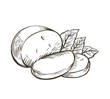 Cheese Buffalo Mozzarella With Basil Leaves. Hand Drawn Engraving. Vector Illustration.