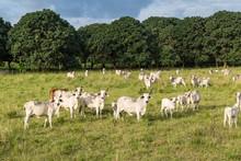 Cebu Cattle