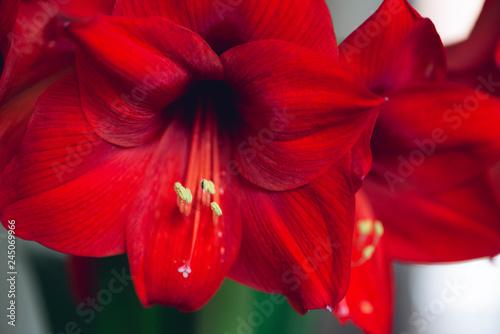 bouquet of large red blooming flowers Wallpaper Mural