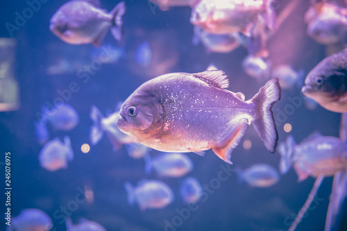Photo  Piranha freshwater fish underwater purple pink background