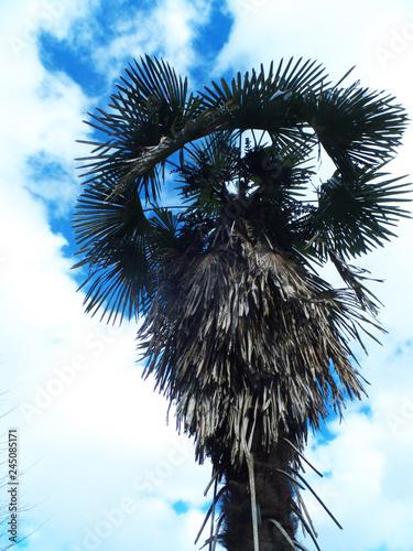 Fototapety, obrazy: 南国・椰子の実・ヤシの木