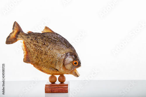 Obraz na plátně  A piranha animal specimen